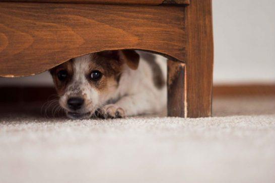 Mundo Pet: proteja seu cão dos fogos na hora da virada