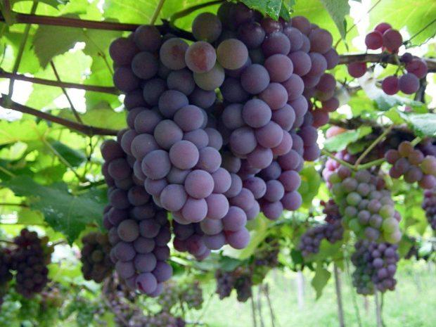 Decreto reduz a burocracia para produção de vinho artesanal do Estado
