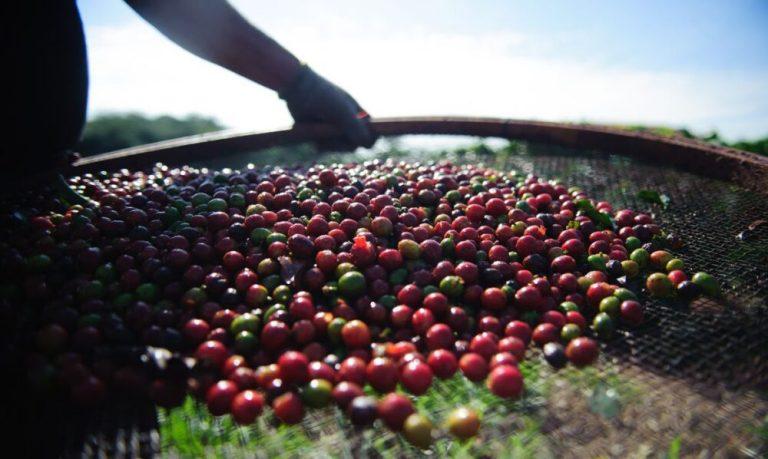 Pesquisa da Conab indica queda na produção nacional de café em 2021