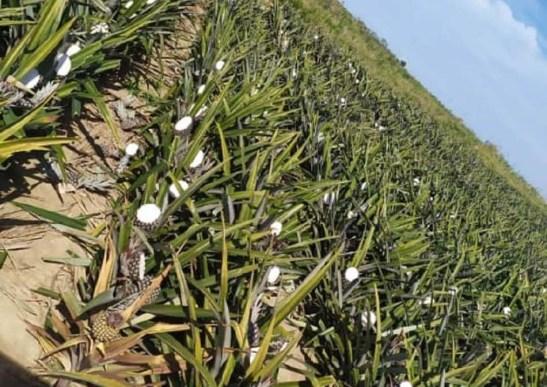 Produtor tem mais de 2 mil abacaxis cortados na lavoura em Marataízes