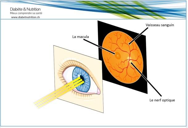 Fond d'oeil, rétine, macula, nerf optique, vaisseau sanguin, oeil