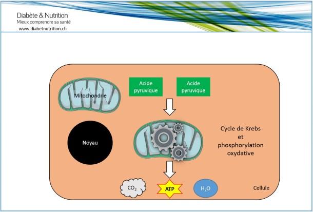 Cycle de Krebs, phosphorylation oxydative, métabolisme, glucides.