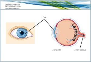 oeil, anatomie, iris, cristallin, nerf optique, rétine