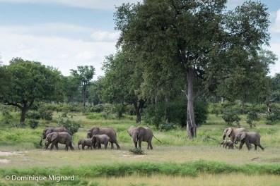 Famille d'éléphants.