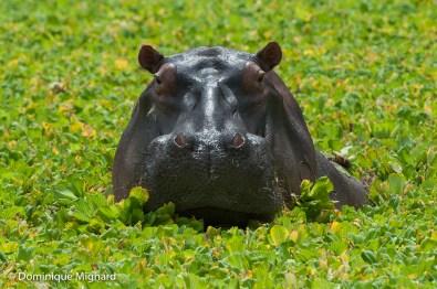 Cet hippo a élu domicile dans un petit lagon peu profond.