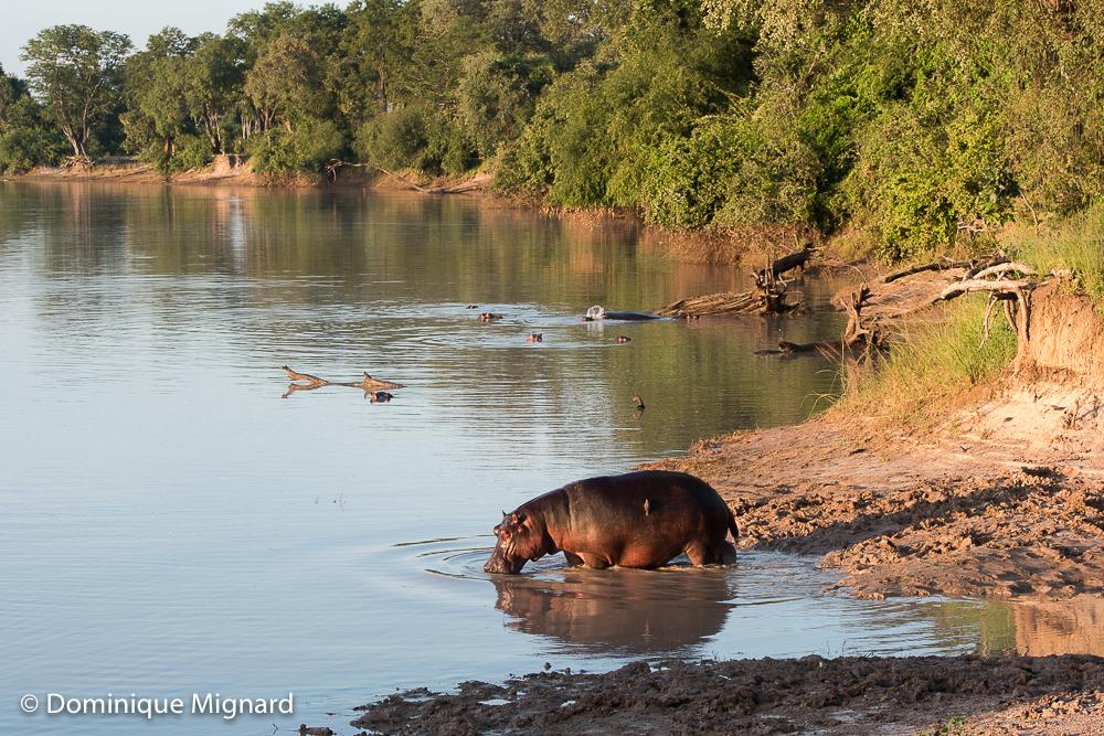 Cet hippopotame regagne le lit de la Luangwa Wafwa provisoirement en eau.