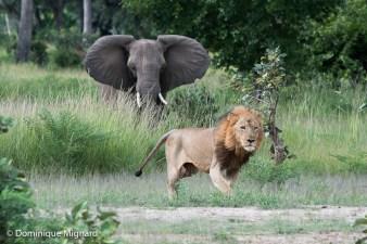 Lion et éléphant, chacun doit garder ses distances. Garlic doit s'effacer devant l'insistance de cet éléphant.