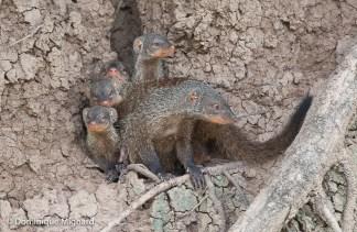 Jeunes mangoustes rayées logeant dans une termitière.