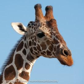 Girafe réticulée - Giraffa camelopardalis reticulata - Parc de Meru