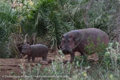 Hippopotame amphibie - Hippopotamus amphibius - Parc de Meru