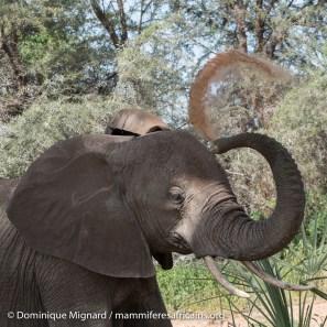 Elephant de savane - Loxodonta africana - Réserve de Samburu