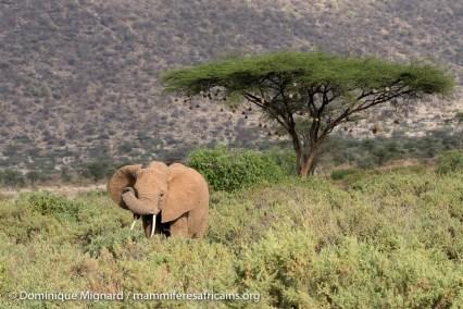 Elephant de savanne - Loxodonta africana - Réserve de Samburu
