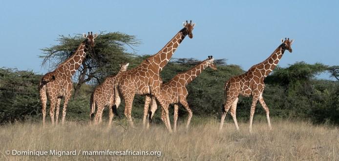 Girafes réticulées - Giraffa camelopardalis reticulata - Réserve de Samburu