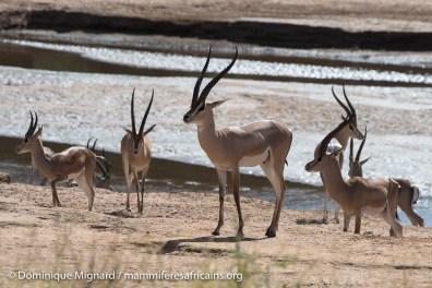 Gazelle de Grant - Nanger granti - Réserve de Samburu
