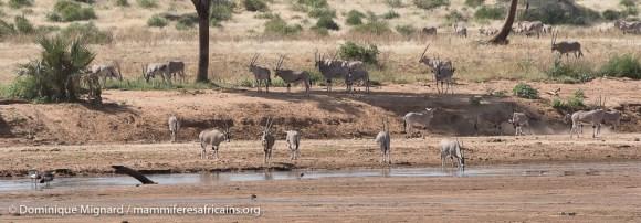 Oryx beisa - Oryx beisa - Réserve de Samburu