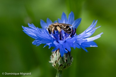Abeille (Apis mellifera) sur bleuet - Centaurée bleuet (Centaurea cyanus).