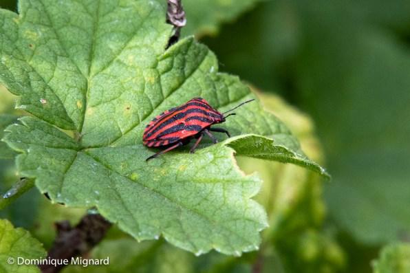 Punaise Arlequin - Graphosome rayé - Graphosome italien - Pentatome italien (Graphosoma italicum).