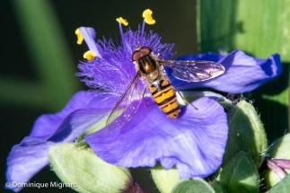 Syrphe ceinturé (Episyrphus balteatus) sur fleur d'éphémère de Virginie (Tradescantia virginiana).