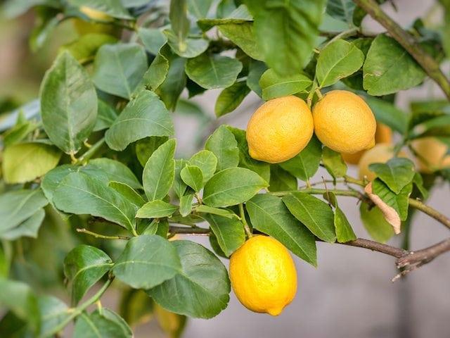 lemon tree diaco s garden nursery and garden centre