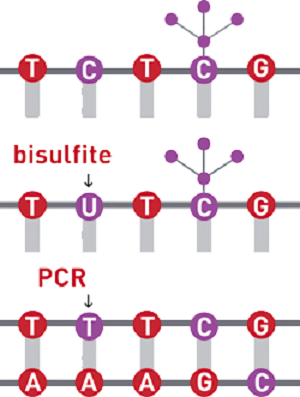 バイサルファイト法|エピジェネティクス研究で使用される実験手法