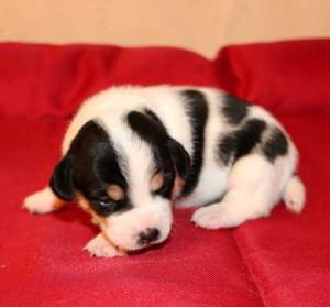 jack-russell-image6
