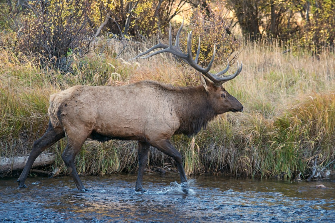 Bull Elk Walking in Water