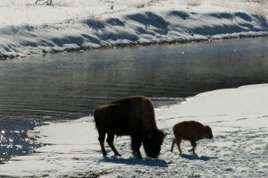 Very Young Calf with Cow Bison