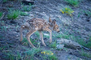 Struggling to Stand Fawn