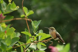Hummingbird Sitting Still