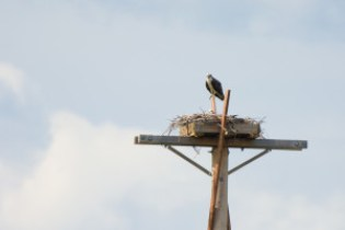 Osprey keeping watch over next