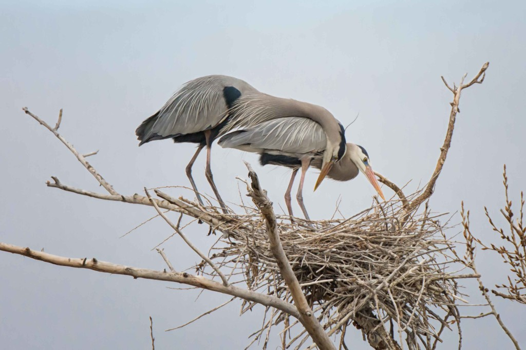 great blue heron love website