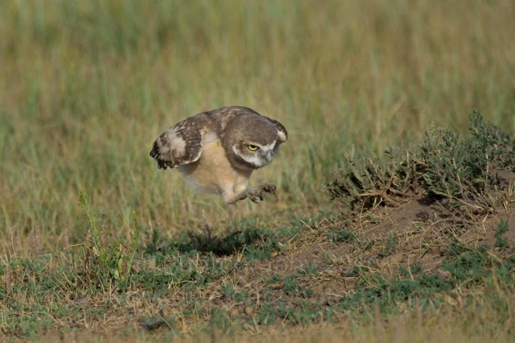 ©Burrowing Owls-6
