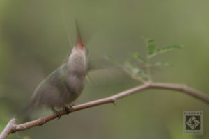 Tips for photographing hummingbirds blurred