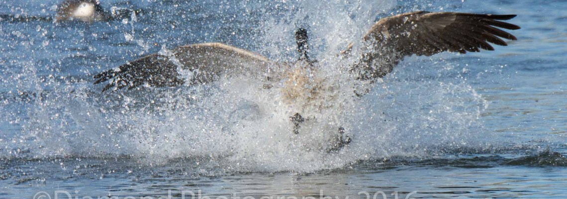 Photographing Canada Geese – Mundane, yet fun!