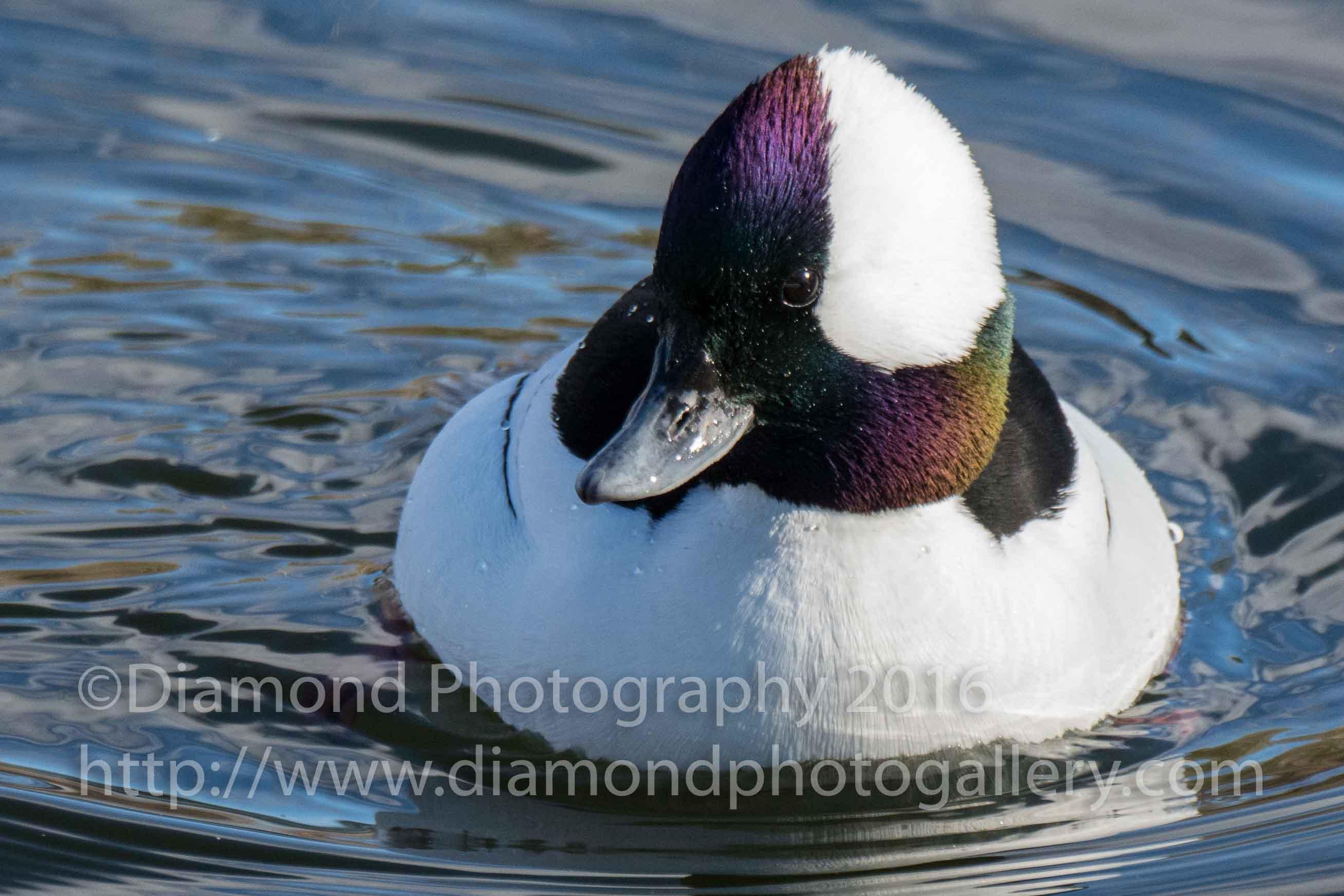 Winter Birding in Colorado