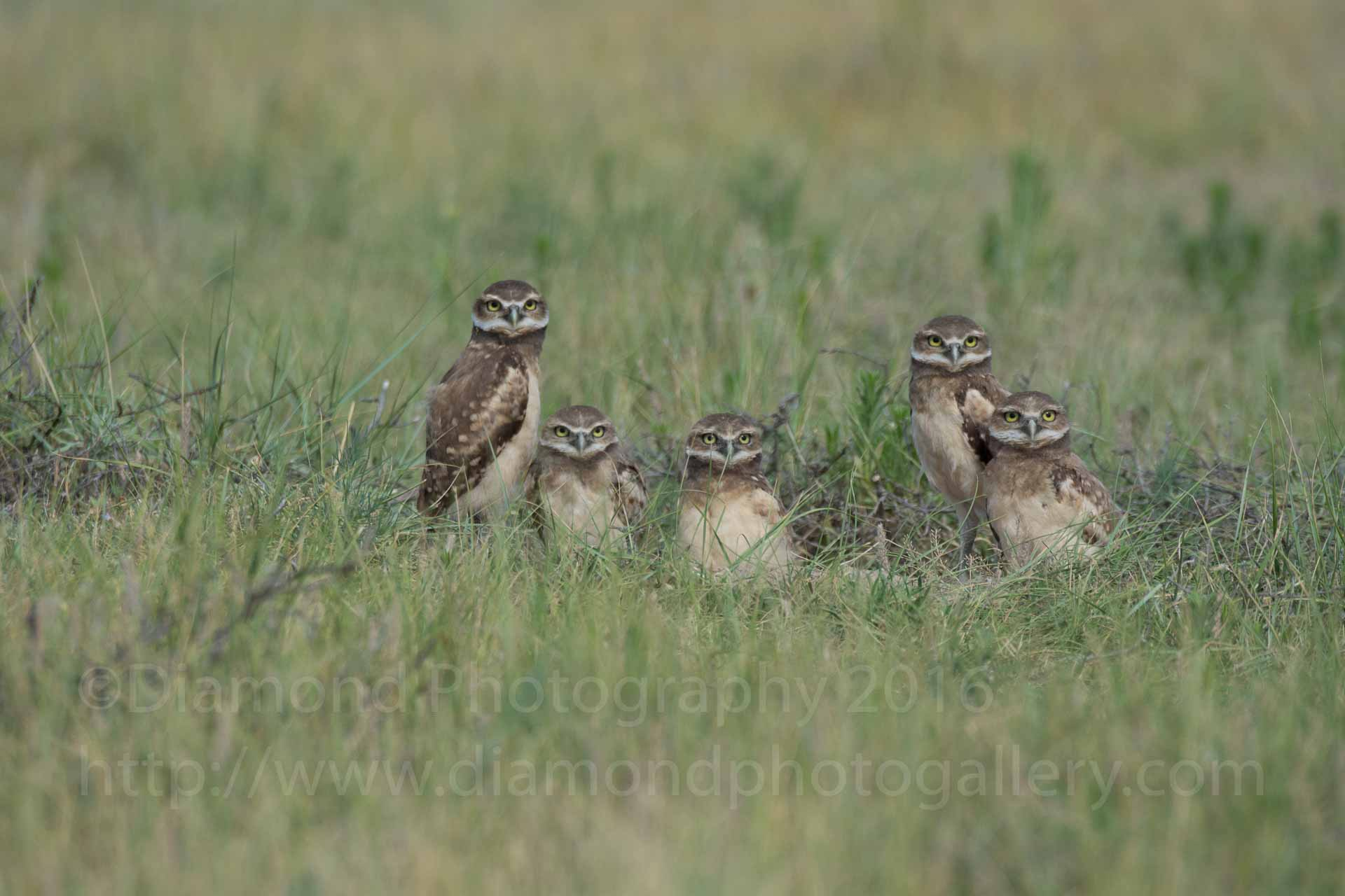 Cute Burrowing Owl Fun