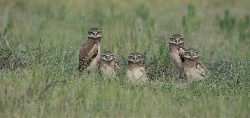 Cute Burrowing Owl Fun
