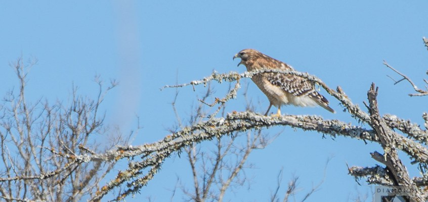 Discovering a red-shouldered hawk