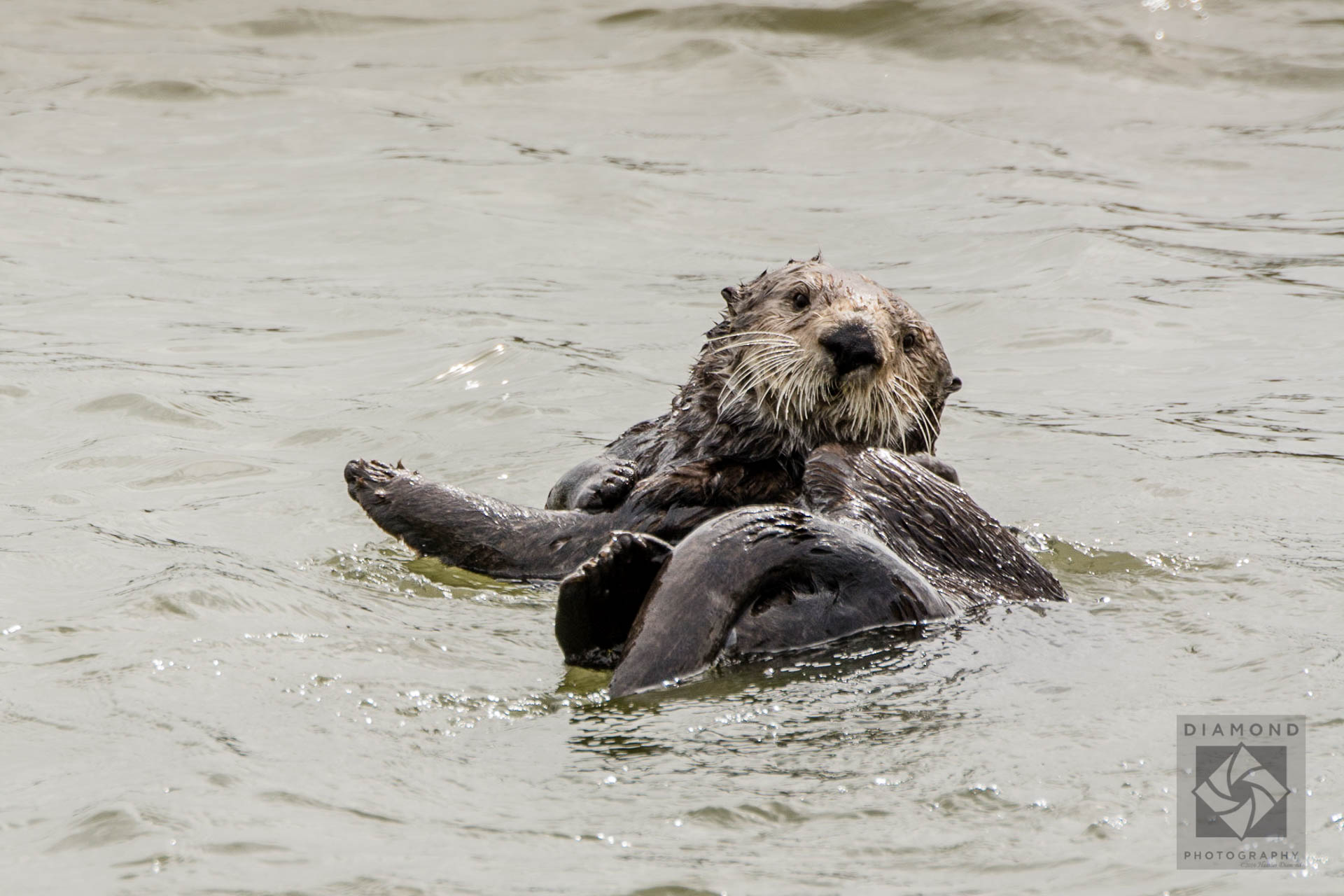 Discover sea otters