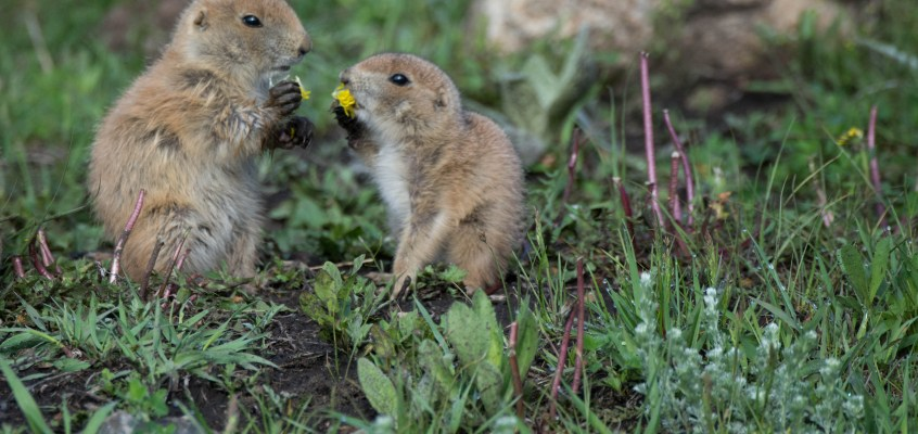 Baby prairie dogs – who can resist?