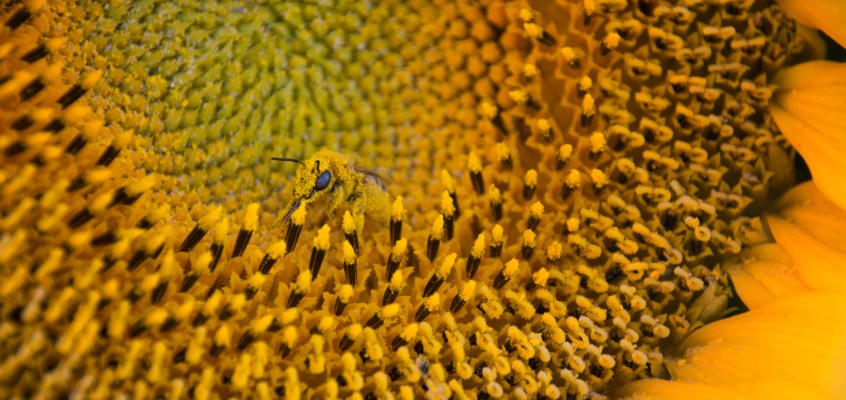 Details at the sunflower fields east of Denver