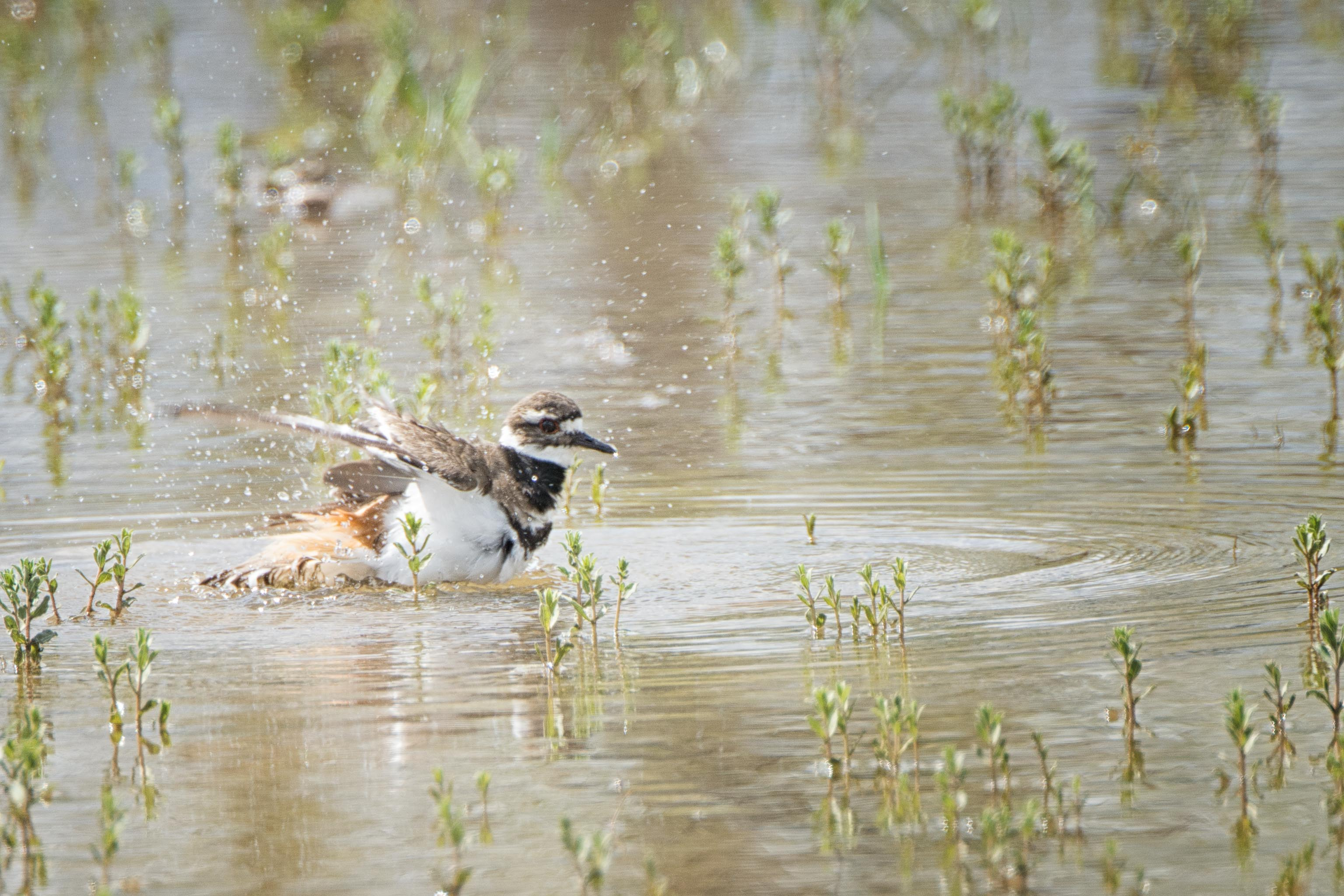 Splish Splash Killdeer taking a bath