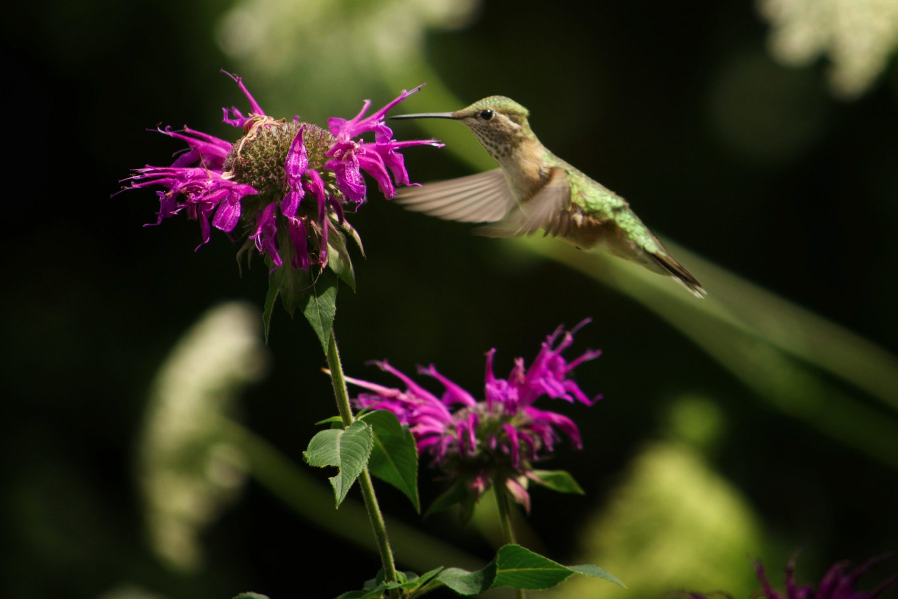 Tips for photographing HUMMINGBIRDS and 6 fun facts