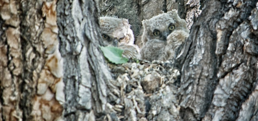 A Great Time Photographing Great Horned Owl Mama and Her Owlets