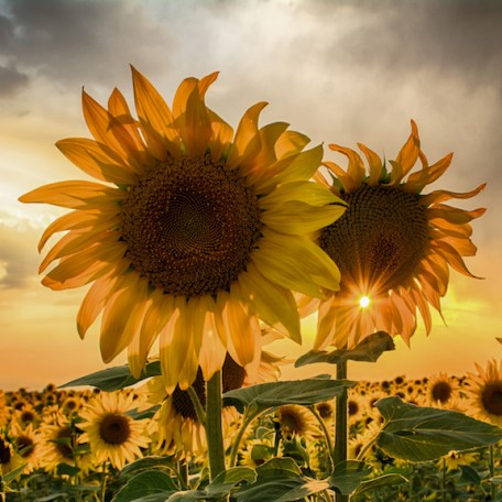 sunflower field at sunset with a beautiful sun starburst