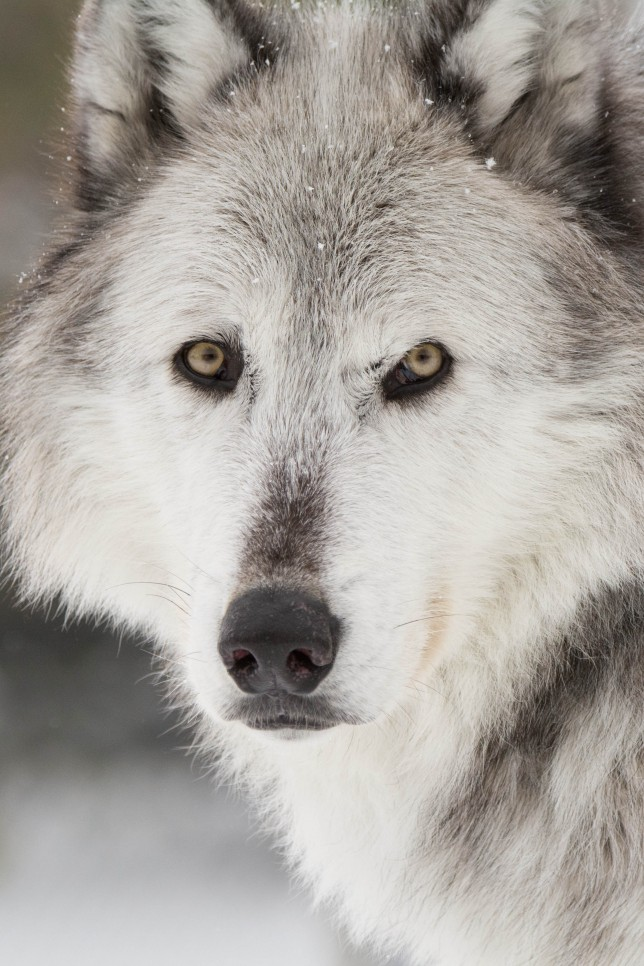Wyoming Wolves Protected Once Again