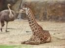 Houston Zoo - Giraffe
