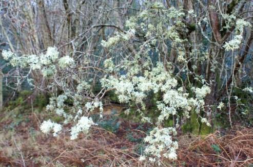 Lichen 'blossom'