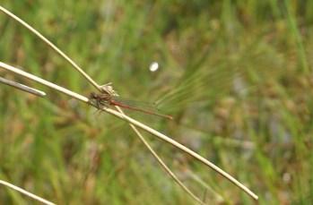 Red Damsel Fly