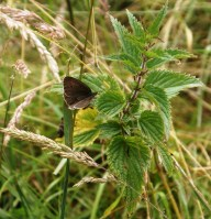 Ringlet butterfly on nettle